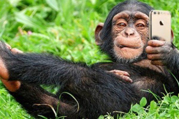 İnstagram Kullanan Şempanze